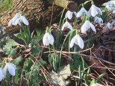 Snowdrops in spring in Mrs Fox's Cottage Garden.
