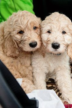 English Golden Doodle Puppies - 8 weeks old! More