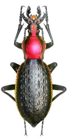 Carabus (Coptolabrus) nankotaizanus