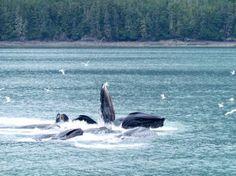 Whales feeding. #Alaska