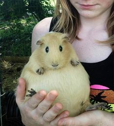 Here's a female guinea pig (Cavia porcellus) so pregnant she looks like she's about to pop! She gave birth to five babies, two days later. Guinea pigs have a gestation that lasts around 70 days, and newborn babies are not larger than 3 inches. These anima Fat Animals, Animals And Pets, Funny Animals, Animal Memes, Wild Animals, Beautiful Creatures, Animals Beautiful, Cute Guinea Pigs, Guinea Pig Funny