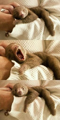 Funny pictures about Tiny Baby Sloth Yawning. Oh, and cool pics about Tiny Baby Sloth Yawning. Also, Tiny Baby Sloth Yawning photos. Cute Creatures, Beautiful Creatures, Animals Beautiful, Cute Baby Animals, Animals And Pets, Funny Animals, Cute Baby Sloths, Wild Animals, Sleepy Animals