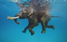 Rajan, the sea-swimming Indian elephant is a native of Havelock Island, part of Ritchie's Archipelago just to the east of the Andaman Islands.