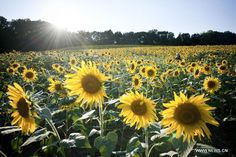 5 Sunflower Fields To Visit In Maryland. July-September. The one outside of Frederick donates all proceeds to St. Jude's Children's Hospital