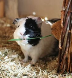 Wutz Doc - ein Meerschweinchen Blog Wombat, Little Potatoes, Cute Guinea Pigs, Cute Piggies, Hamster, Tier Fotos, Animals Of The World, Cute Animals, Kitty