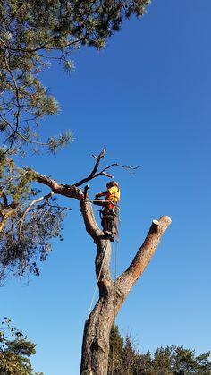 Suurte ja ohtlike puude langetamine kitsastes tingimustes. ohtlike puude langetamine #puumehed #ohtlikepuudelangetamine #treesurgery #arborist #treeworks #puudelangetamine #estonia #eestipuud #hysqvarna #treeremoval  vt veel www.puumehed.ee