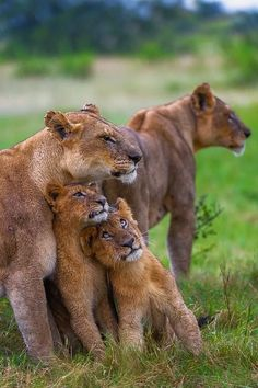 Lion moms and cubs