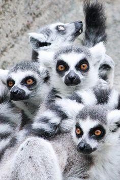 Lemur Group                                      #animals #wildanimals
