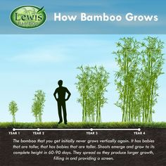 This beautiful evergreen bamboo is used extensively for screening. At maturity, the culms grow close together and with it's thick foliage, 'Golden Bamboo' provides an excellent visual and sound barrier for Zone 6 and higher. Bamboo Hedge, Bamboo Privacy Fence, Bamboo Planter, Privacy Plants, Bamboo Tree, Potted Bamboo, Bamboo In Pots, Golden Bamboo, Black Bamboo