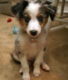 Riot the Australian Shepherd. Perfect puppy, perfect name.