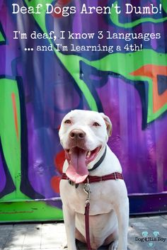 Deaf dogs can learn as many hand signs or as many signed languages as you decide to teach them. #deafdogs #deafnotdumb #dogtraining