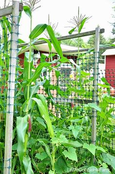 Life At Cobble Hill Farm: Weekend -  Corn and Cucumbers grown together.