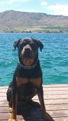 Angus the Rottweiler