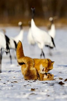 Red Foxes and Cranes by Marco Gaiotti