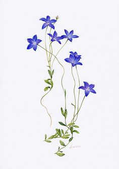Wahlenbergia Botanical Illustration ~ Australian Geographic Magazine Issue 130-0
