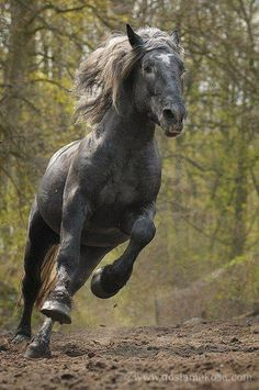 Dark grey horse running at you.