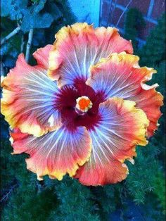 Growing hibiscus is an easy way to add a tropical flair to your garden. When you know how to care for hibiscus plants, you will be rewarded with many years of lovely flowers. Growing Hibiscus From Seeds. Unusual Flowers, Amazing Flowers, My Flower, Pretty Flowers, Purple Flowers, Cactus Flower, Yellow Roses, Best Flowers, Pink Roses