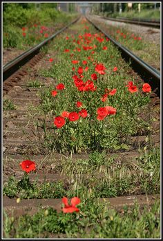 Poppies growing wild down a railroad Exotic Flowers, Amazing Flowers, Red Flowers, Poppy Decor, Wildwood Flower, Beautiful Nature Pictures, Photo To Art, Urban Nature, Sun Plants