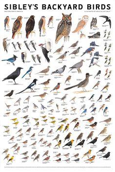 Sibleys Backyard Birds poster. From birdfeedersnmore.com.