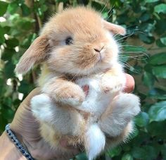 Post with 2091 votes and 90798 views. Tagged with cute, animals, cuteness overload, adorbs, baby bunnies; Cute Baby Bunnies, Baby Animals Super Cute, Cute Little Animals, Cute Funny Animals, Lop Bunnies, Dwarf Bunnies, Cutest Animals, Cute Bunny Pictures, Baby Animals Pictures