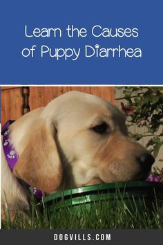 What puppy food is best for diarrhea?That question is far more common than you might think, especially considering the fact that puppies have sensitive tummies! Best Puppies, Best Dogs, Best Puppy Food, Smoked Salmon Recipes, Prebiotics And Probiotics, Diy Dog Toys, Dry Dog Food, Superfood, Free Food