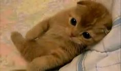 More bunches of kitties Crazy Cat Lady, Crazy Cats, I Love Cats, Cute Cats, Baby Animals, Cute Animals, Cat Scottish Fold, Cute Creatures, Service Dogs