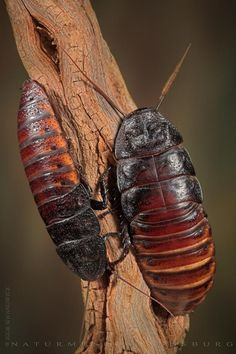 hissing roaches -- These come from Madagasscar and they are so cool!