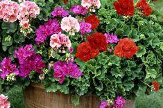 #pelargoner #trädgård #garden Plants, Flowers, Flora