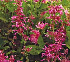 """Agastache Tutti Frutti  Common Name: Hummingbird Mint  Hardiness Zone:  6-9 S / 6-10 W  Height: 2-3'  Deer Resistant: Yes  Exposure: Full Sun  Blooms In: July-Oct  Spacing: 12-24"""""""