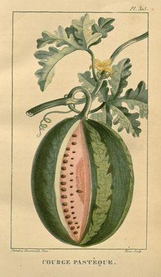 Watermelon. Flore médicale des Antilles, ou, Traité des plantes usuelles ct.5 Paris :Pichard,1821-1829. Biodiversitylibrary. Biodivlibrary. BHL. Biodiversity Heritage Library