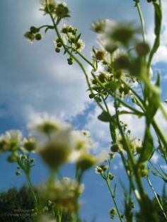 #SPoceania #Wildflower by starlachris.deviantart.com