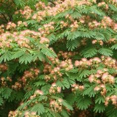 This is a guide about growing Mimosa trees. Mimosa trees, also known as silk trees, originated in China. They grow easily in many areas and are even sometimes considered a weed. They are a medium sized tree that produces a lot of shade.
