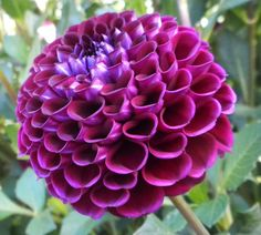 Heirloom 300 Seeds Dahlia Dinnerplate Dinner Plate Lilac Time Red Violet Mixed Colors Flower Garden B2051 by seedsshop on Etsy https://www.etsy.com/listing/97394622/heirloom-300-seeds-dahlia-dinnerplate