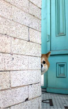 (via Shiba Inu Nanu/柴犬Nanu on Facebook) #shibadog Japanese Dogs, Funny Dogs, Pet Dogs, Dog Cat, Shiba Inu, Doge, Animals Dog, Cute Animals, Cute Puppies