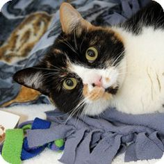 Walnut Creek, CA - Domestic Shorthair. Meet Rainbow a Cat for Adoption.