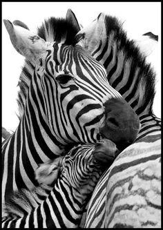 zebra love <3