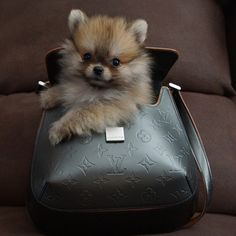 "Just wanted to send you this pic of my sisters 10 week old Pomeranian. I found him sleeping in her purse so figured I snap a pic. His name if Chance,"" writes @hichance. #dogsofinstagram #dog - @dogsofinstagram- #webstagram"