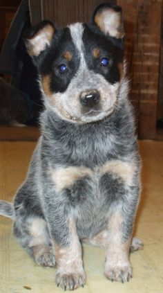 Beautiful Juliet, blue heeler puppy from cattle dogs rule.