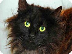 Louisville, KY - Domestic Mediumhair. Meet COCO, a cat for adoption. http://www.adoptapet.com/pet/12861725-louisville-kentucky-cat