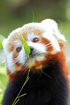 Red panda hypnotized by leaf