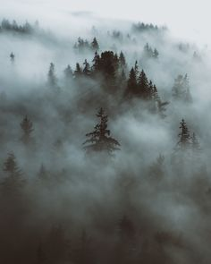Foggy Evergreen Trees by Forrest Mankins