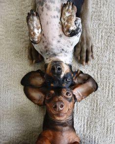 Dachshund selfie #dachshund selfie?
