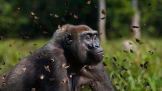 Gorila entre una nube de mariposas