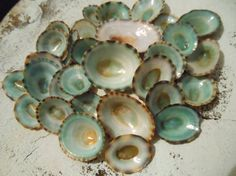 Green Limpet Seashells 25  Seashell Supply  by ShellsUnlimited, $4.50