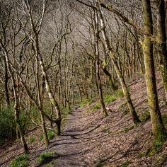 Milltown Wood, Cornwall.