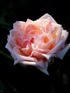 RP: Baronne Henriette de Snoy Hybrid Tea Rose