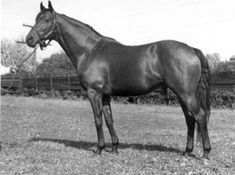 Princequillo- The 'X' factor gene was passed to Something Royal -or why Secretariat was one in a billion...