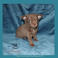 Image d'Instagram Le Chihuahua, Education Positive, Chihuahuas, Small Dogs, Fox, Teddy Bear, Image, Instagram, Adopt A Puppy