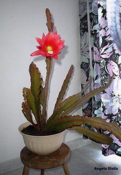 Cactus epífitos Cactus e Dintorni: il sito per appassionati di Piante Grasse