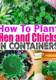 Succulent Planter Diy, Succulent Gardening, Succulent Care, Cacti Garden, Indoor Gardening, Cactus Plants, Planter Ideas, Growing Succulents, Planting Succulents